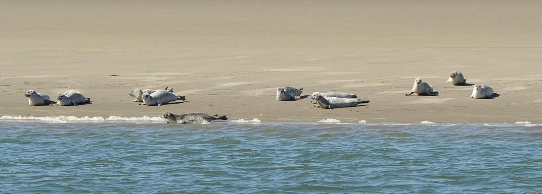 Seehundb�nke vor Borkum